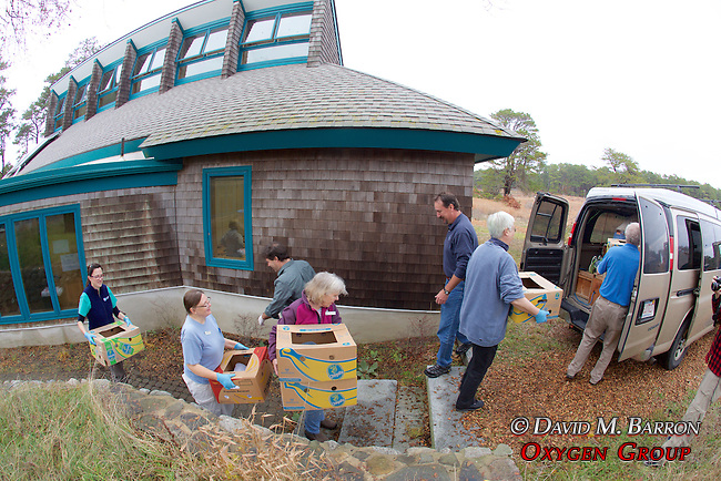Judith Rhome & Other Volunteers Transporting Stranding Sea Turtles In Boxes, Welfleet Bay Wildlife Sanctuary, Audubon