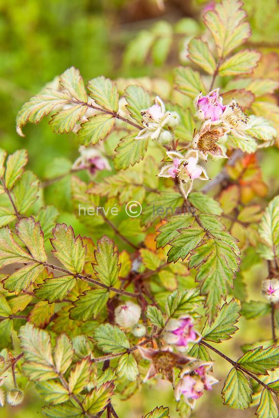 Le jardin des Rosiers : dans le jardin de gravier,.ronce du Tibet (Rubus thibetanus) // Rubus thibetanus, ghost bramble