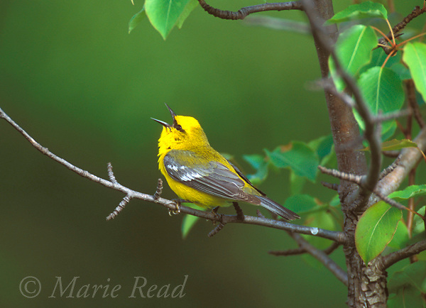 Blue-winged Warbler (Vermivora pinus) male singing in spring, New York, USA<br /> Slide # B161-617