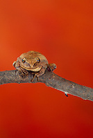 Tree frog, hyla versicolor, sits on branch, Missouri USA