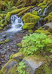 Olympic National Park, WA: Pacific waterleaf (Hydrophyllum tenuipes) nestled in moss covered rocks by a stream in Upper Sol Duc Valley