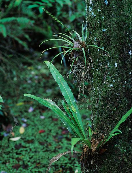 Green Treefrog, Hyla cinerea, adult resting on fern by bromeliad, Corkscrew Swamp Sanctuary, Florida, USA, Dezember 1998
