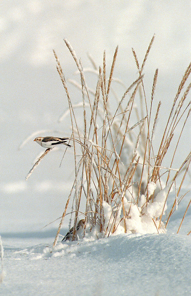 A tiny snow bunting perches on beach grass growing alongside Cook Inlet near Kasilof, Alaska, as another snow bunting forages seeds below.
