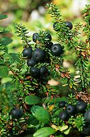 Schwarze Krähenbeere, Früchte, Empetrum nigrum, Black Crowberry