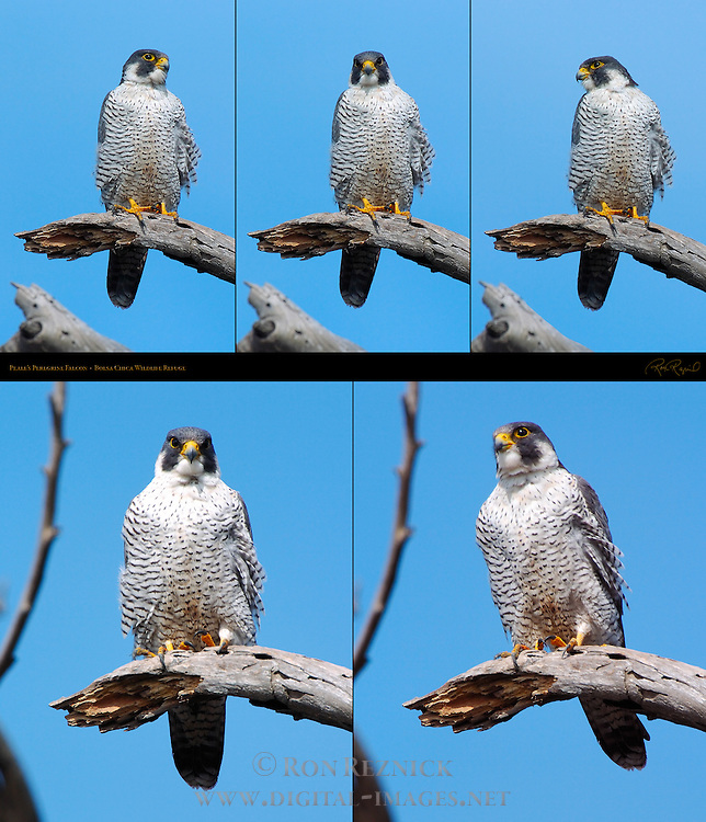 Peale's Peregrine Falcon, Bolsa Chica Wildlife Refuge, Southern California