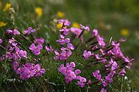 Pink Flowers - Stein-Nelke