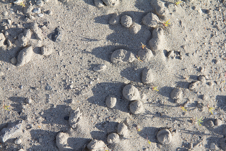 Hanford Reach National Monument, White Bluffs, Wahluke Slope, sand balls, odd sand formations, shrub steppe habitat, Columbia Basin, eastern Washington, Washington State, Pacific Northwest, USA, North America,