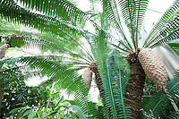 Tropical foliage, Dioon spinalosum - giant dioon, or gum palm, cycad at San Francisco Conservatory of Flowers