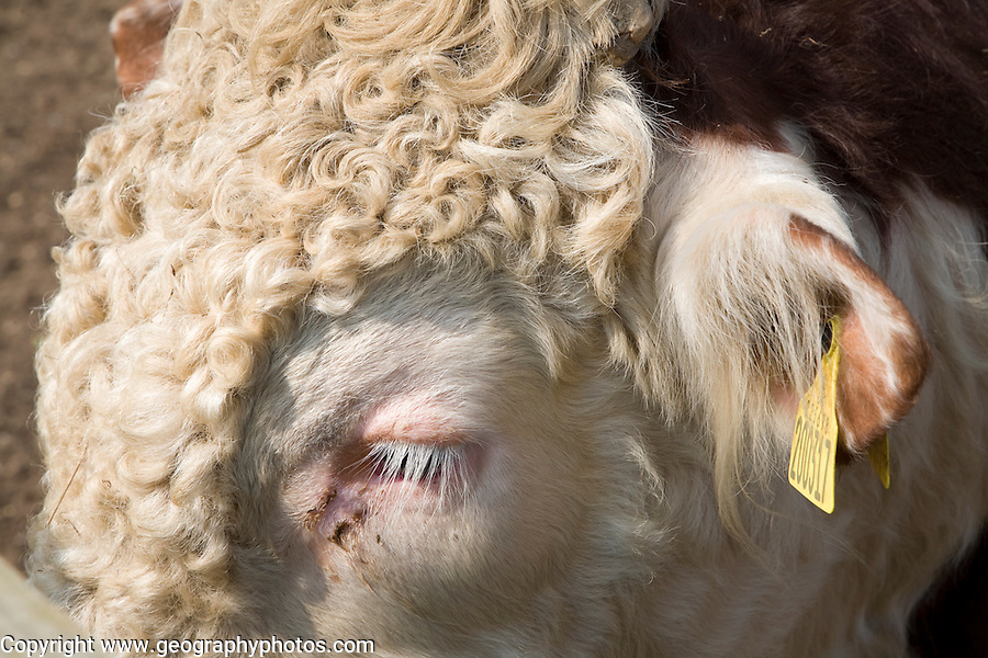 Close up of head of bullock in a herd of pure Hereford cattle at Boyton marshes, Suffolk, England