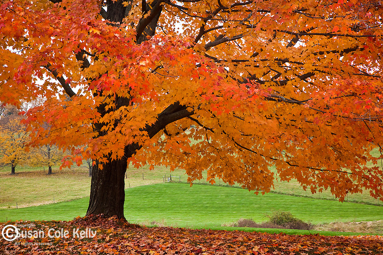 Neon fall foliage on a Sugar maple tree in rural Groton, MA, USA