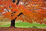 Neon fall foliage on a Sugar maple tree in rural Groton, MA, USA