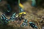 poison dart frogs in Santa Barbara