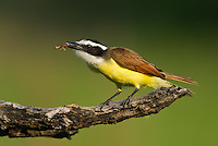 554810202 a wild great kiskadee pitangus sulphuratus feeds on a large waterbug while perched on a dead mesquite tree limb on laguna seca ranch near edinburg texas united states
