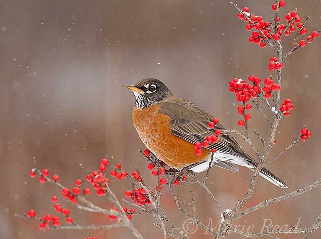 American Robin (Turdus migratorius), attracted to feed on winterberry (Ilex) fruits in winter, New York, USA