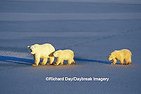 01874-01210 Polar Bears (Ursus maritimus) female with 2 cubs walking on frozen pond  Churchill  MB