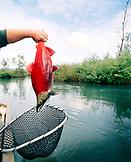 USA, Alaska, Redoubt Bay, man holding a Sockeye Salmon in Big River