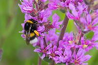 Erdhummel, Blütenbesuch an Blutweiderich, mit Pollenhöschen, Bombus spec., Bombus, Bombus terrestris-aggr., Bombus terrestris s. lat., bumble bee