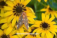 04001-00213 Regal Moth (Citheronia regalis) on Black-eyed Susan (Rudbeckia hirta) Marion Co.  IL
