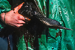 A Red Throated Diver damaged by oil following the 72,000 tonne oil spill on the Pembrokeshire coast from the Sea Empress oil tanker. <br /> 1996
