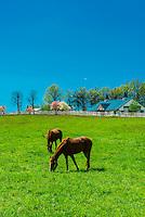 Thoroughbred horses in pasture, Manchester Farm, Lexington, Kentucky USA.