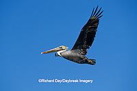 00672-00520 Brown Pelican (Pelecanus occidentalis)  in flight South Padre Island TX
