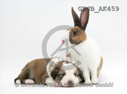 Kim, ANIMALS, fondless, photos, dog, rabbit(GBJBAK459,#A#) Tiere ohne Fond, animales sind fondo