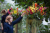 "London, UK. 6 February 2014. Horticulturalist Anny Altoe at work. The annual orchids festival at the Royal Botanic Gardens, Kew, takes centre stage in the Princess of Wales Conservatory from 8 February to 9 March 2014. This year's theme is ""Orchids: A Plant Hunters' Paradise"". More than 6500 orchids of the Phalaenopsis, Vanda and Cambria hybrids have been worked into colourful displays by a team of 20 people which took 4 weeks to build."