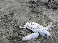 green sea turtle, Chelonia mydas, hatchling, a rare leucistic white turtle, Rosalie Beach, Dominica, Windward Islands, Lesser Antilles, Atlantic Ocean
