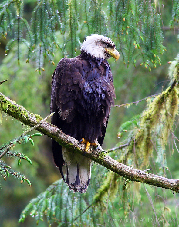 Very wet bald eagle in rain forest