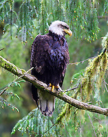 Bald Eagle AK