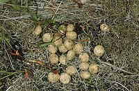 Losung, Kot von Feldhase, Feld-Hase, Hase, Lepus europaeus, Lepus capensis, Brown hare, Lièvre brun