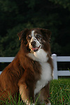 Australian Shepherd<br /> <br /> <br /> Shopping cart has 3 Tabs:<br /> <br /> 1) Rights-Managed downloads for Commercial Use<br /> <br /> 2) Print sizes from wallet to 20x30<br /> <br /> 3) Merchandise items like T-shirts and refrigerator magnets