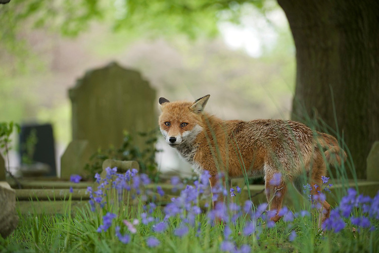 An urban living Red fox (Vulpes vulpes) in Bluebells