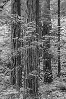 Old-growth forest, Mt. Rainier NP, WA