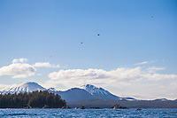 Commercial fishing cape purse seiner boats position themselves for the start of the 2006 Sitka Sac Roe Herring fishery opener on the north side of Middle Island in Sitka Sound. Spotter planes fly overhead to direct the vessels towards schools of Herring.