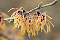 Witch hazel (Hamamelis x intermedia 'Aurora'), end January.
