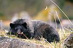 Glacier bear, silver phase of black bear, Glacier Bay National Park and Preserve, Alaska
