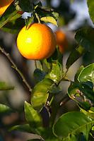 An orange on an orange tree in the vineyard. Vinedos y Bodega Filgueira Winery, Cuchilla Verde, Canelones, Montevideo, Uruguay, South America