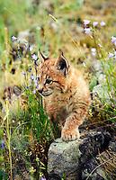 Lynx kitten exploring