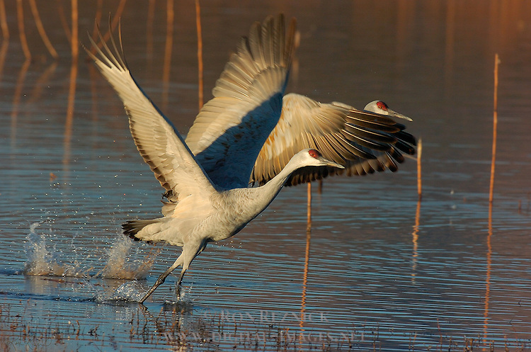 Sandhill Crane Takeoff, Morning Flyout, Bosque del Apache Wildlife Refuge, New Mexico