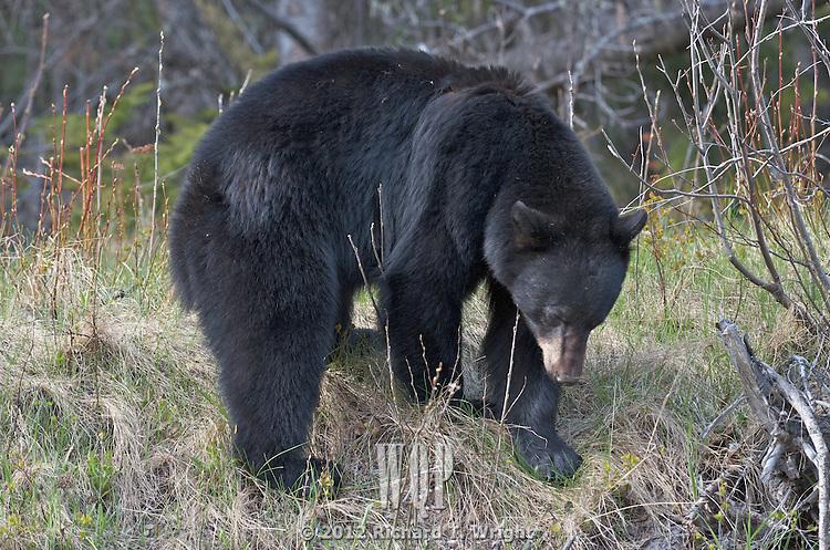 Black Bear  A black bear (Ursus americanus) feeds on spring vegetation in an effort to replace weight lost in winter hibernation.