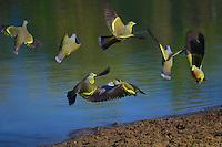 Orange-breasted Green Pigeon (Treron bicincta)Yala National Park Sri Lanka