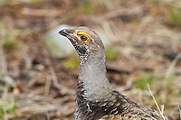 Dusky Grouse in Yellowstone
