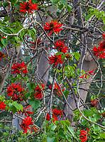 Erythrina x sykesii - red flowering Australian Coral Tree in Leaning Pine Arboretum