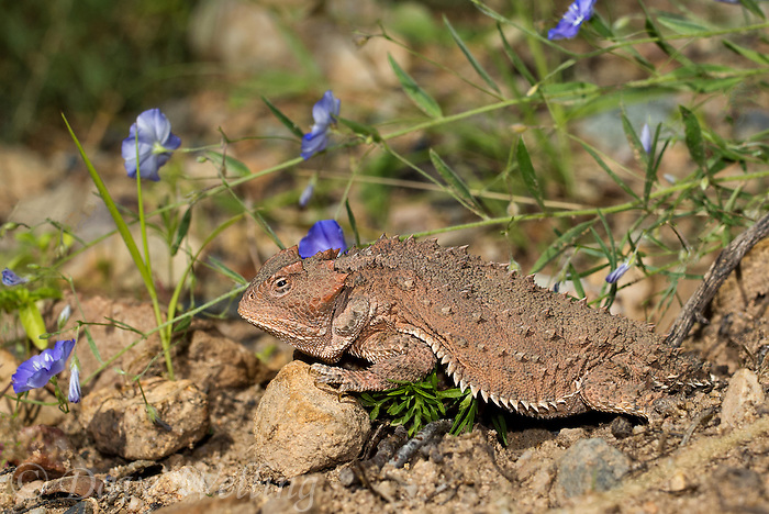 437500001 a wild greater short-horned lizard phrynosoma or tapaja hernandesi rests near the coronado national memorial highway near the entrance to the monument in southeastern arizona