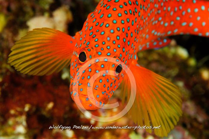 Cephalopholis miniata, Juwelen Zackenbarsch, Jewel grouper or Coral Cod, Paradise Riff Reef, Rotes Meer, Ägypten, Red Sea Egypt