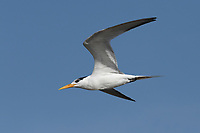 Lesser Crested Tern - Sterna bengalensis