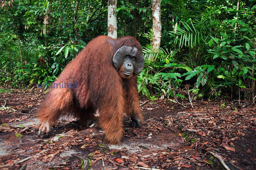 Bornean Orangutan matu...