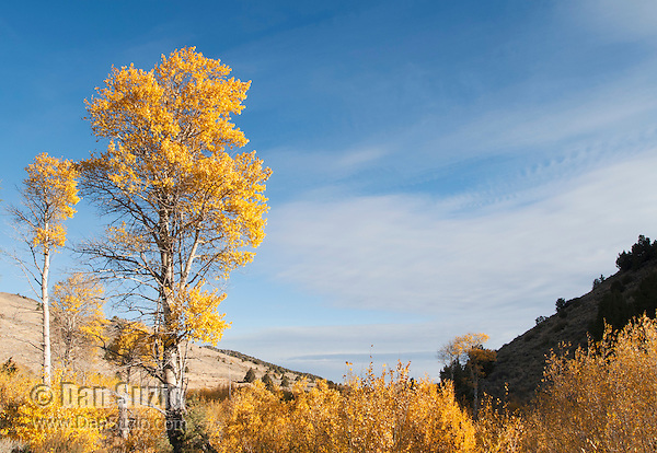 Quaking aspen, Populus tremuloides, in autumn. Hart Mountain National Antelope Refuge, in the high desert of eastern Oregon.