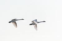00758-01713 Trumpeter Swans (Cygnus buccinator) in flight Riverlands Migratory Bird Sanctuary St. Charles Co., MO